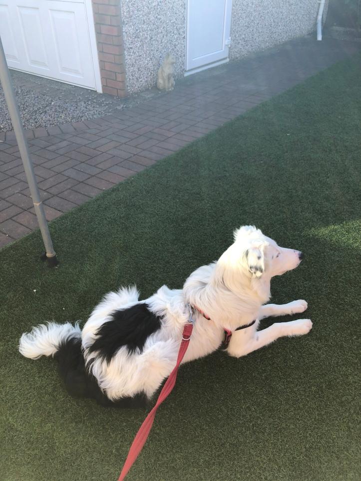 Buddy the White Border Collie Puppy